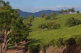 gurue tea plantations_L
